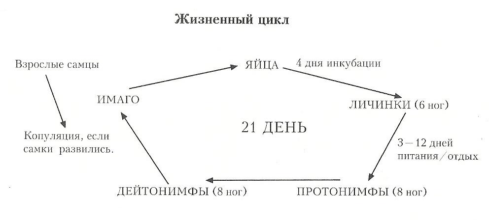 Жизненный цикл ушного клеща у