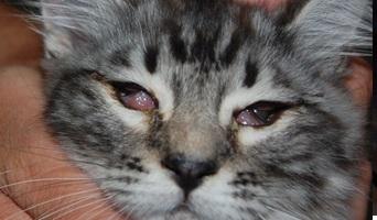 конъюнктивит у котенка фото